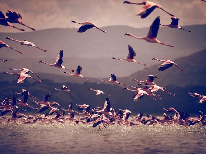 Kenia Flamingos