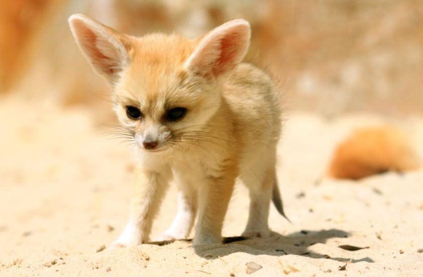 fennec fox Samsung